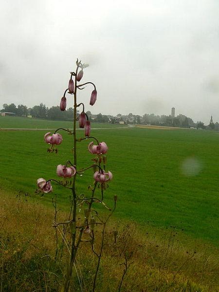 Türkenbundlilie auf offenen Rainen und Säumen