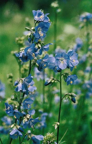 Polemonium caeruleum Blaue Himmelsleiter